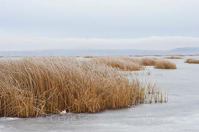 Frozen tule marsh in winter. Lower Klamath National Wildlife Refuge, Siskiyou County, California. December.