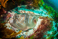 southern fiddler ray, Trygonorrhina fasciata, endemic, Montague Island, Narooma, New South Wales, Australia, South Pacific Ocean