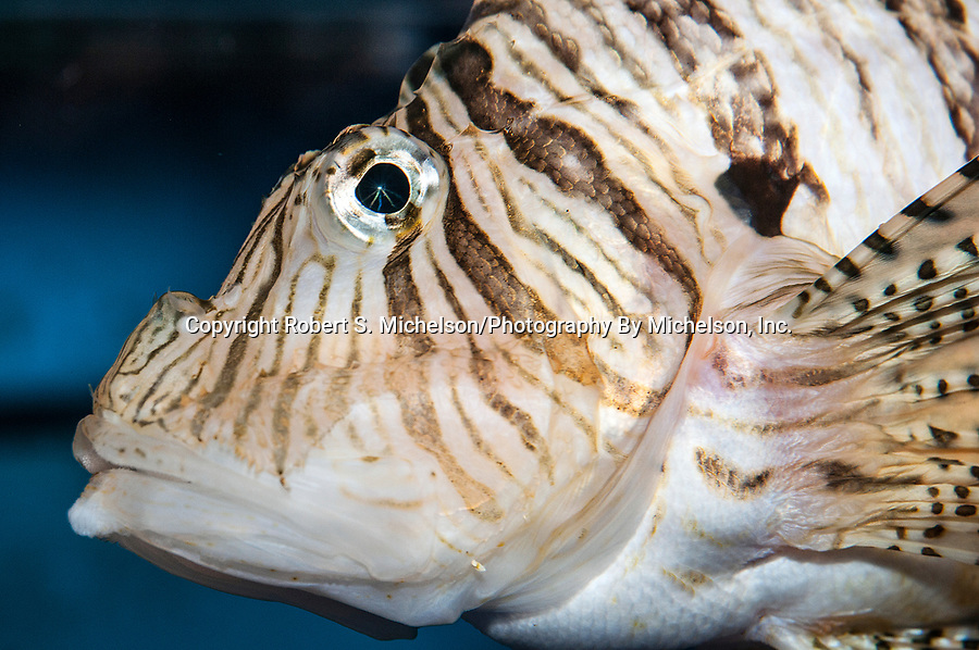 Red lionfish facing left close-up