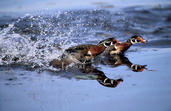 Wood Duck drakes in territorial dispute.  Breeding season.. British Columbia, Canada..(Aix sponsa).
