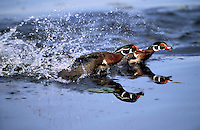 Wood Duck drakes in territorial dispute.  Breeding season.. British Columbia, Canada..(Aix sponsa).