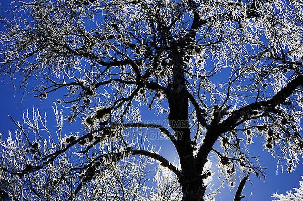Tree at dawn after ice rain, Dinero, Lake Corpus Christi, South Texas, USA