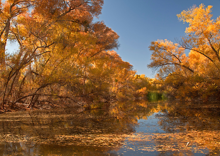 Cottonwood trees (Populus fremontii) line and reflect in Palm Lake at the Hassyampa Nature Preserve near Wickenburg