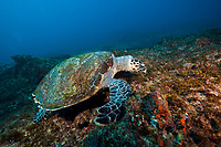 hawksbill sea turtle, Eretmochelys imbricata, feeding on algae, Aliwal Shoal, off Umkomaas, KwaZulu-Natal, South Africa, Indian Ocean