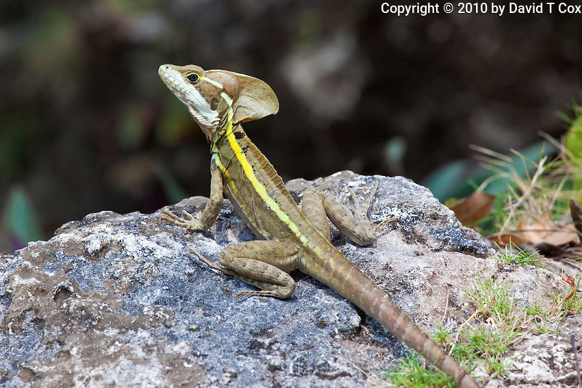 Basilisk Lizard, El Remate, Peten, Guatemala