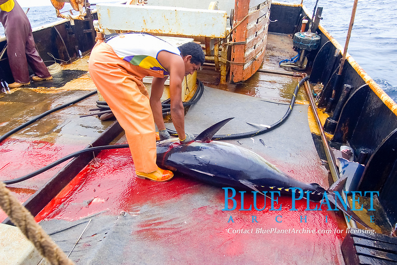 Fishermen cuts yellowfin tuna, Thunnus albacares, Offshore commercial longline tuna fishing, Brazil, Atlantic Ocean