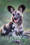 Painted Hunting Dog pup (Lycaon pictus). South Luangwa National Park, Zambia.
