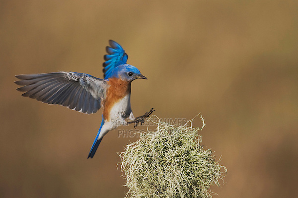 Eastern Bluebird (Sialia sialis), male landing, Sinton, Corpus Christi, Coastal Bend, Texas, USA