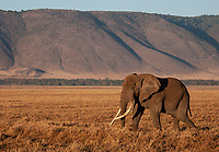 """This remains perhaps the largest elephant I've seen, a """"big tusker"""" who was estimated to be 60-65 years old."""