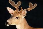 Black-tailed or mule deer buck, Olympic National Park, Washington, USA