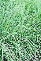 Andropogon gerardii 'Lord Snowdon' Big Bluestem grass