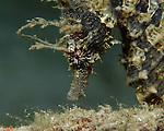 Longsnout Seahorse, Hippocampus erectus