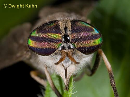 1F05-501z  Striped Horsefly, Female, close-up of face and compound eyes  - Tabanus subsimilis.