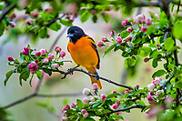 Male Baltimore Oriole (Icterus galbula)  in wild crab apple tree.  Great Lakes Region.  May.