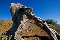 alter Wacholderbaum bei El Sabinar, El Hierro, Kanarische Inseln, Spanien