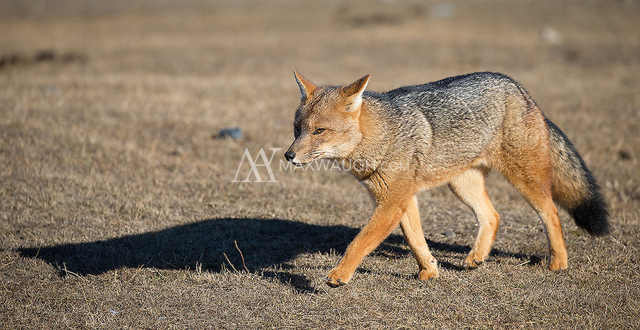 Culpeos are South America's second-largest canid, and look like a cross between a fox and a coyote.  This is a fully mature female, who was raising four growing pups.