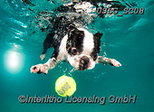 REALISTIC ANIMALS, REALISTISCHE TIERE, ANIMALES REALISTICOS, dogs, paintings+++++SethC_320B2744rev,USLGSC08,#A#, EVERYDAY ,underwater dogs,photos,fotos ,Seth