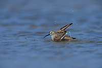 Dunlin (Calidris alpina), adult bathing, South Padre Island, Texas, USA