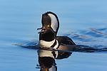 Drake hooded merganser calling on a northern Wisconsin lake.