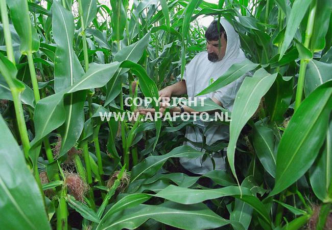 doetinchem 280700 praktijkonderzoekmedewerker jan kasies controleert de groei van de mais op het proefveld in doetinchem.<br />foto frans ypma APA-foto<br />lv2oogst31maisproefveld