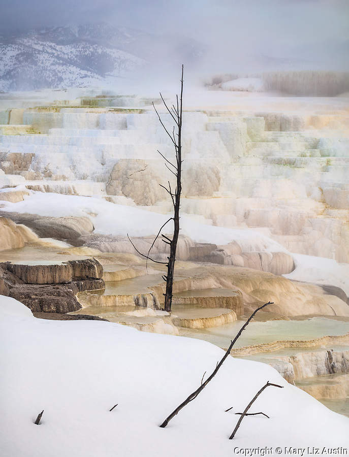 Yellowstone National Park, WY: Travertine and ghost trees of Canary Spring at the Upper Terraces of Mammoth Hot Springs.