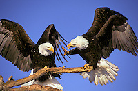 Bald Eagles (Haliaeetus leucocephalus) squabble over perch.
