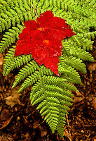A red maple leaf is striking against the bright green fern it landed upon.