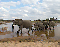 The African elephant is the world's largest land animal.Elephants often travel in family herds led by a matriarch.