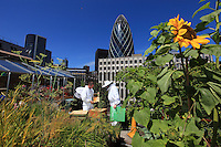 In the City, with, in the background, 30 St Mary Axe, the skyscraper designed by Norman Foster and Partners for Swiss Re, the urban beekeeper Brian Mc Callum is inspecting a hive on the roof of Sir John Cass Primary School. He and his sidekick John, the school's gardener, take care of a hive in the hanging garden of this kindergarten and primary school. Brian is a pro-bee activist. As a beekeeper, he is trying to set up as many hives as possible in London. For this, Brian founded a company in 2006 called Urban Bees and he offers courses in beekeeping and classes for companies. Before he turned his passion into a business, Brian was a university geography professor. H worked in the world of advertising and was a sailing enthusiast who spent many nights holding onto yacht riggings on the Atlantic Ocean. He has a B.S. in geography and environmental studies from the University of Surrey. He lives in Battersea with his wife Alison and their bees.