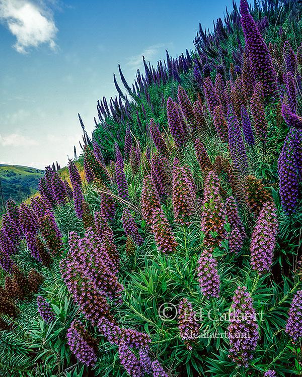 Echium, Echium candicans, Pride of Madera, Mount Tamalpais State Park, Marin County, California
