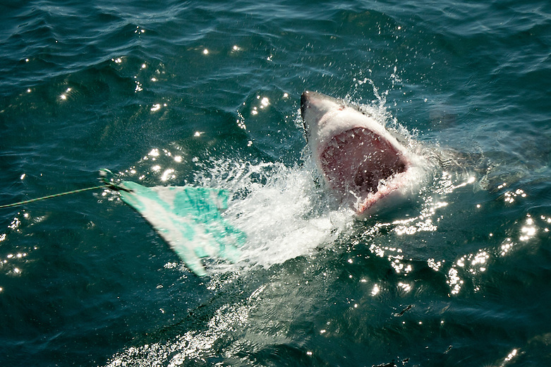 Shark Alley is situated just off Gansbaai, South Africa. Here, Great White Sharks are lured in using bait and bear their teeth as they investigate the juicy offerings.