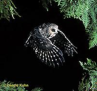 OW07-118z  Saw-whet owl - flying - Aegolius acadicus