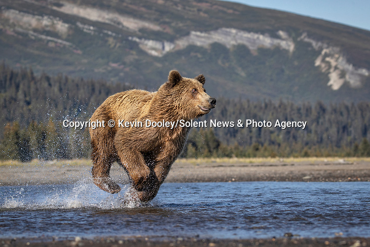 Pictured: The bear running towards the fish.  Sequence 2 of 10.<br /> <br /> A brown bear struggles to catch a thrashing salmon as the fish tries to escape its deadly paws.  The fish are a vital part of this young male's diet, providing up to nine pounds of fat each day which is necessary to survive the harsh Alaskan winter.<br /> <br /> Though the fish often slip away, this one was caught by the bear on his second attempt.  The photographs were taken by professional wildlife photographer Kevin Dooley in Southwest Alaska, in the United States.  SEE OUR COPY FOR DETAILS.<br /> <br /> Please byline: Kevin Dooley/Solent News<br /> <br /> © Kevin Dooley/Solent News & Photo Agency<br /> UK +44 (0) 2380 458800
