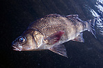 White Perch swimming left mid-water column