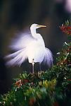 Great egret with breeding plumage, Venice, Florida