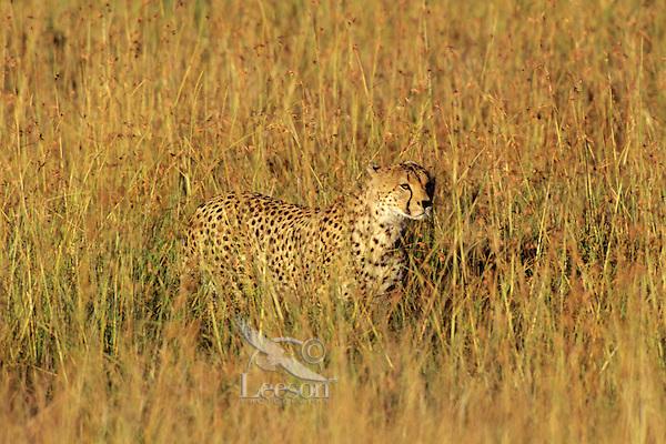 Cheetah (Acinonyx Jubatus) Africa