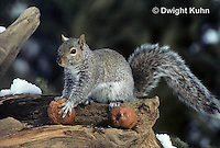 MA23-035z   Gray Squirrel - looking around for danger when taking weathered apple to eat - Sciurus carolinensis
