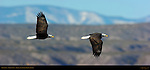 Bald Eagle Flight Study, Bosque del Apache Wildlife Refuge, New Mexico