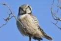 00831-008.01 Hawk Owl Surnia ulula is perched on top of dead tree typical of species.  Bird of prey, raptor, predator. H5L1