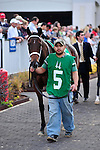 14 November 2009: Mary's Follies in the paddock before the G2 Mrs. Revere Stakes at Churchill Downs in Louisville, Kentucky.