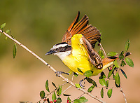 Great Kiskadee landing on branch with red berries