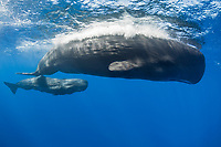 sperm whale, Physeter macrocephalus, mother and baby, calf, Caribbean Sea, Dominica, Atlantic