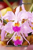 Gisela, FLOWERS, BLUMEN, FLORES, photos+++++,DTGK2561,#f#, EVERYDAY ,orchids