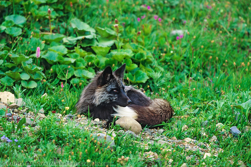 Cross fox, which one color phase of the red fox, rests in the green summer tundra of Denali National Park, Alaska.