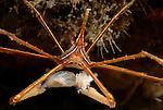 Arrow crab eating, (yellow line arrow crab);Stenorhynchus seticornis,  Blue Heron Bridge, Lake Worth Inlet, Florida, USA, Amazing Underwater Photography, Marine behavior, 6-11-11-675