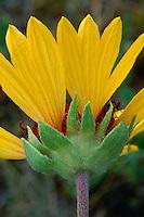 Blanketflower in Uinta Basin<br /> Red Cloud Loop Road<br /> Ashley National Forest<br /> Colorado Plateau,  Utah