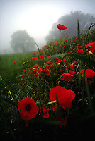 Blooming poppies with trees in background<br />