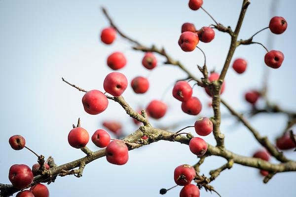 Malus × robusta 'Red Sentinel'