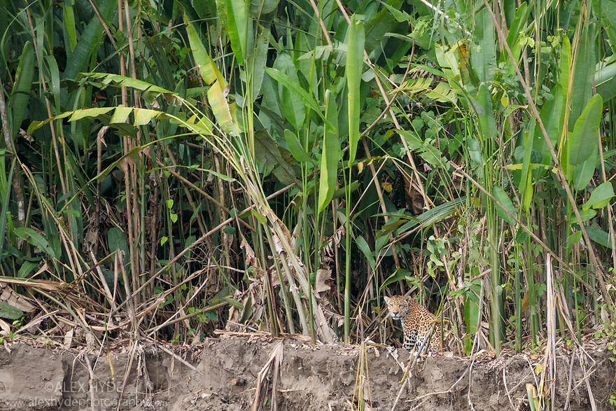 Male Jaguar (Panthera onca) resting amongst riverside vegetation. Manu River, Manu Biosphere Reserve, Amazonia, Peru. November.