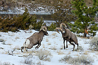 Rocky Mountain bighorn sheep (Ovis canadensis canadensis) rams fighting--head butting during fall rut.  Western U.S., late fall.